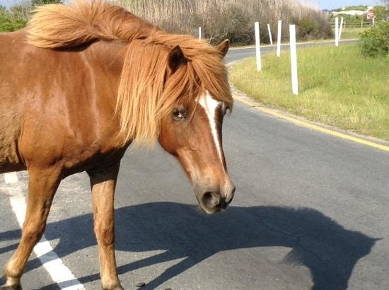 Assateague Island National Seashore: pony in the road