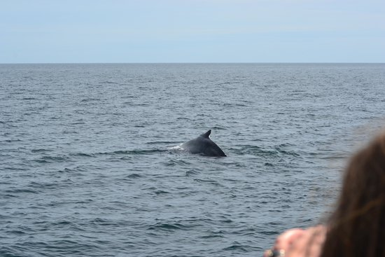 Bar Harbor Whale Watch Company: The humpback whale!