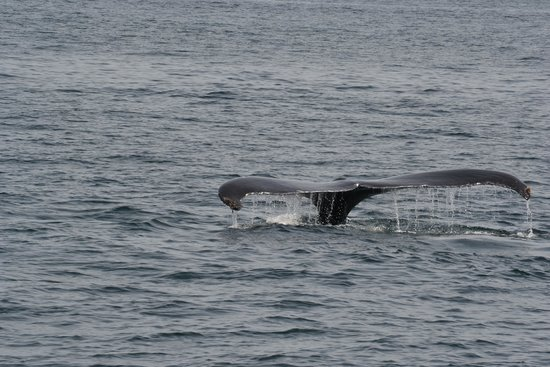 Bar Harbor Whale Watch Company: He's going down!
