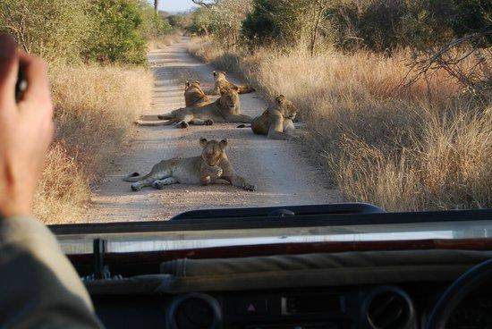 Hamiltons Tented Safari Camp: lions