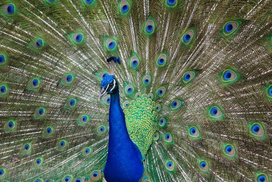 St. Maarten Zoo : Peacock