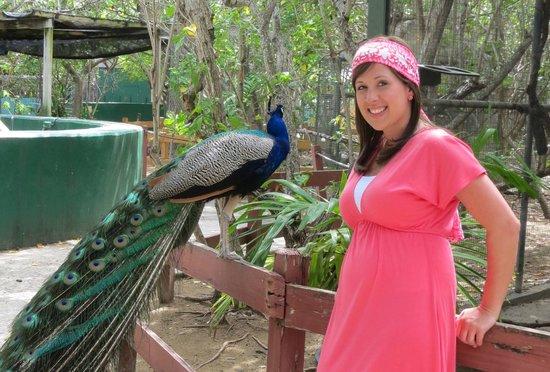 St. Maarten Zoo: Peacock