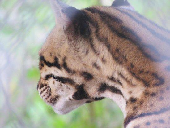 St. Maarten Zoo: Ocelot