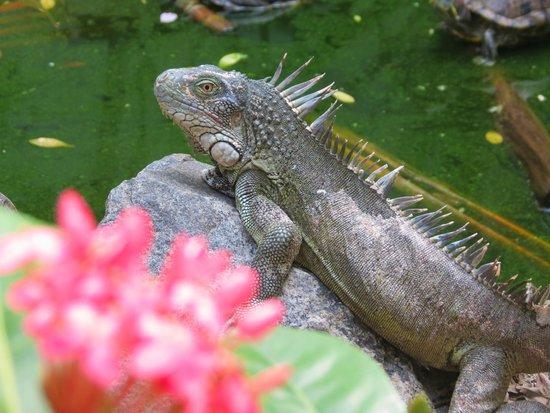 St. Maarten Zoo: Iguana