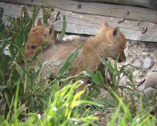 BrushBuck Wildlife Tours - Day Tours: Coyote pups along the Mormon Road barn