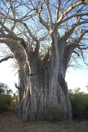 Hamiltons Tented Safari Camp: baobab
