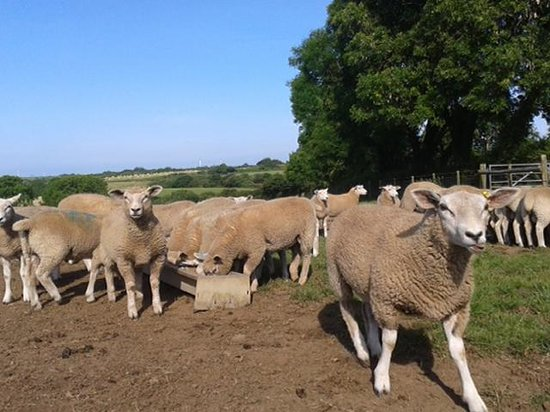 Rosehill Farm Bed and Breakfast: lambs being fed