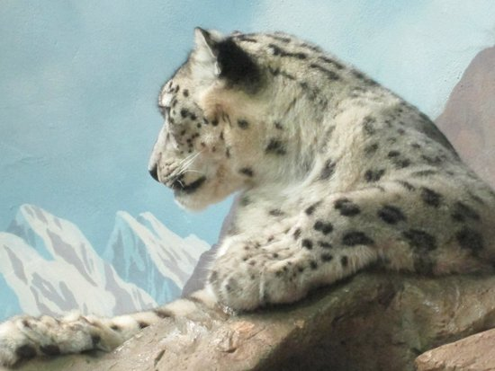 Denver Zoo: Snow Leopard