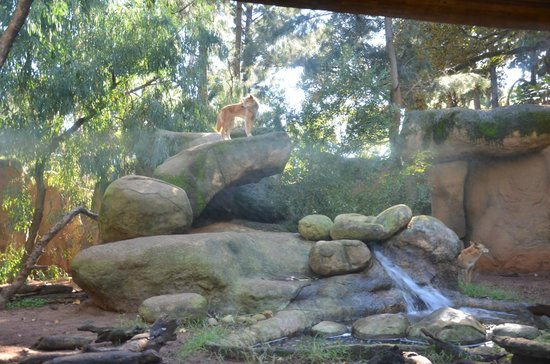 Perth Zoo : Dingo