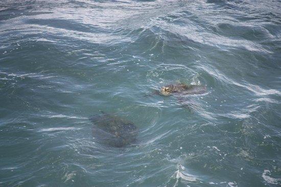 Maha'ulepu Heritage Trail : Sea Turtles!