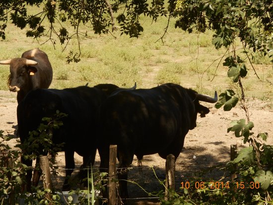 Camargue autrement safari 4x4 : les taureaux de camargue