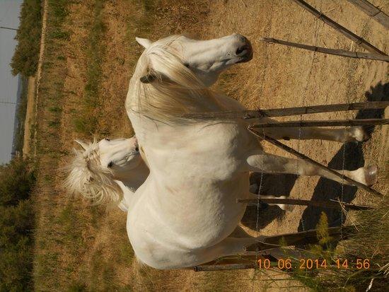 Camargue autrement safari 4x4 : les chevaux de camargue