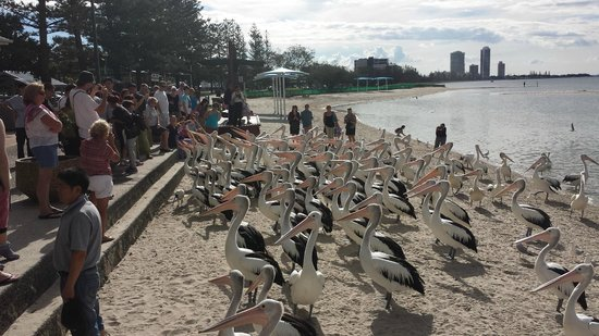 The Chelsea: Outback feeding the Pelicans