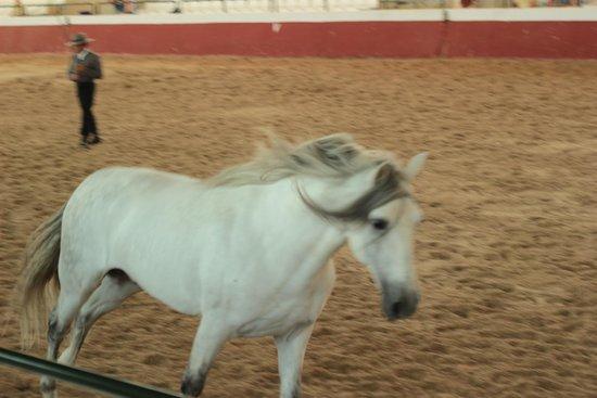 Yeguada de la Cartuja: The stallion