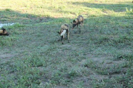 Nkorho Bush Lodge: Wild dogs2