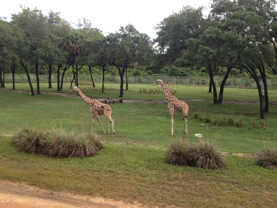 Disney's Animal Kingdom Lodge: The view from our room in the morning