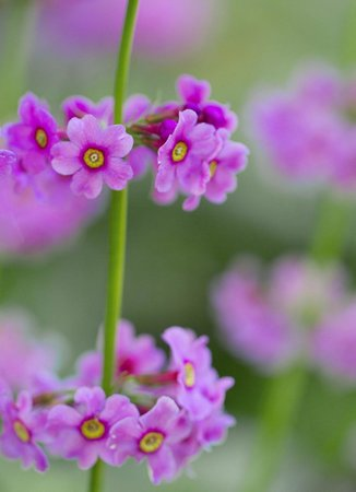 Arduaine Garden: Primula's at Arduaine