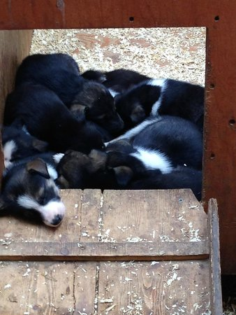 Dog Sled Discovery & Musher's Camp: A whole pile of puppies!