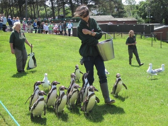 Welsh Mountain Zoo: The penguins (and seagulls!) out for a walk
