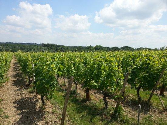 Chateau de Reignac : The vines