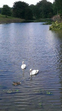Stoke Rochford Hall: The lovely Swans on the river