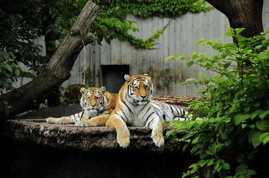 Copenhagen Zoo: Позирующие амурские тигры