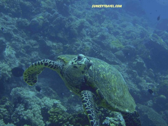 Atlantis Dive Resorts Dumaguete: Friendly turtles, not afraid of divers
