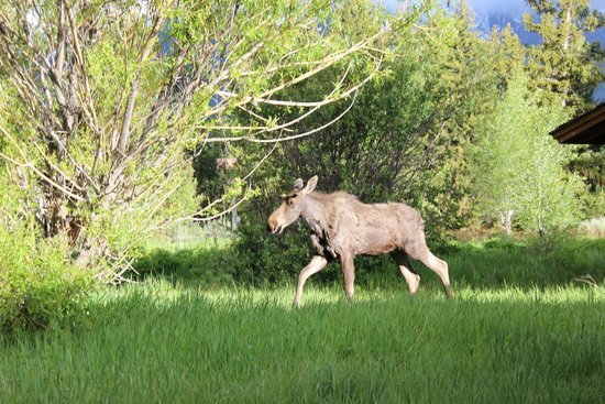 Dornan's Spur Ranch Cabins: Moose on the loose