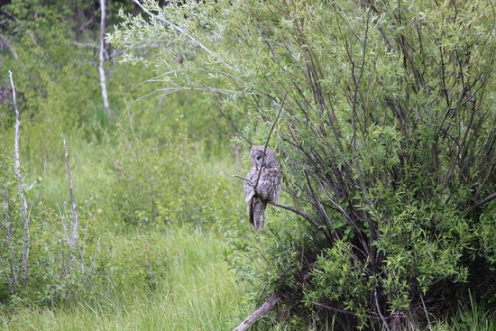 Moose Wilson Road: Spotted this cool owl