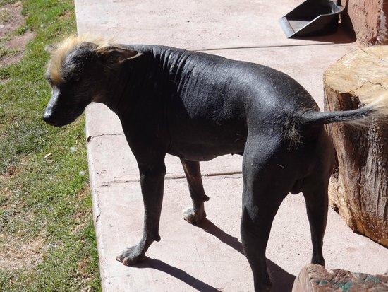 Ccochahuasi Animal Sanctuary: Peruvian hairless dog