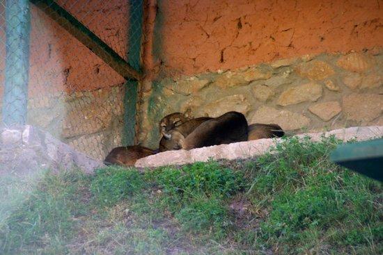 Ccochahuasi Animal Sanctuary: Pumas rescued from nightclub
