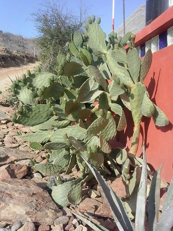 Los Colibris Casitas: Prickly Pear!!