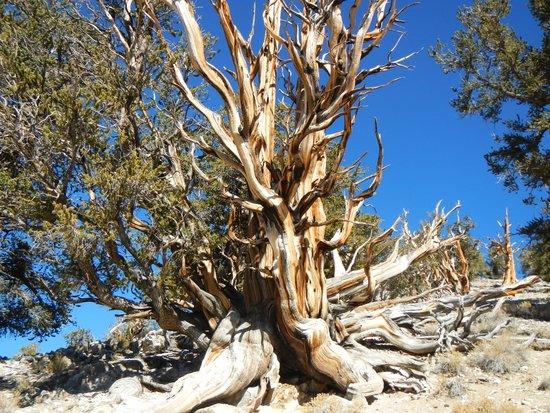 Ancient Bristlecone Pine Forest: Bristlecone