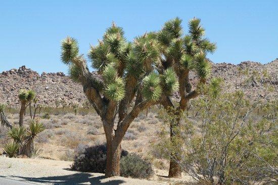 Joshua Tree National Park: Arbre Cactus