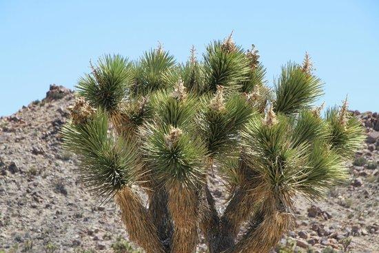 Joshua Tree National Park: Cactus