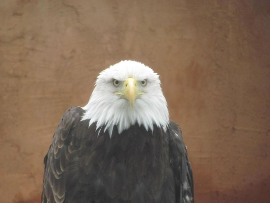 Reptile Gardens: Cheyenne is a bald eagle who was rehabilitated, but is unable to live in the wild.
