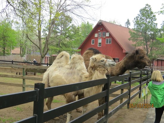 Zoo in Forest Park : one hump and two hump camels