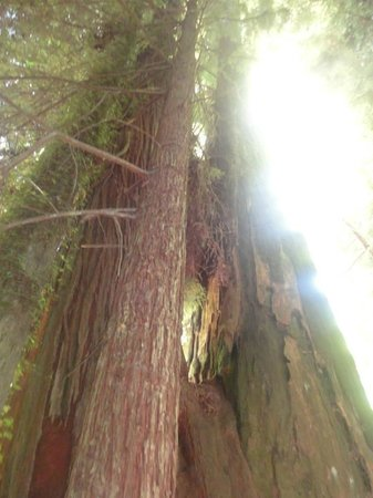 Avenue of the Giants: At the Immortal Tree