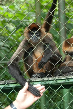 Proyecto Asis: Spider Monkey with such soft hands