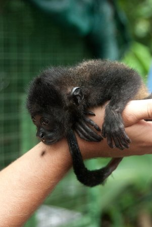 Proyecto Asis: Our guide with a baby howler monkey