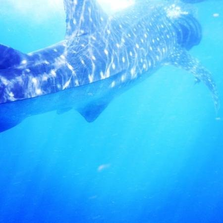 Scuba Playa Dive Shop : Whale sharks