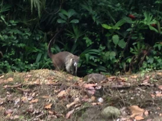Monteverde Cloud Forest Biological Reserve : monteverde coati