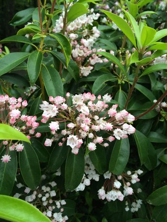 Half-Mile Farm: Mountain laurel in bloom!