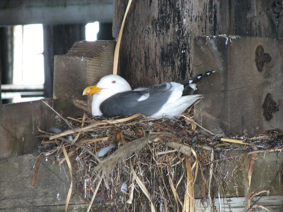 Santa Cruz Wharf: nesting seagull in the rafters below the pier
