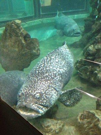 Phuket Aquarium : some of the bigger fish!