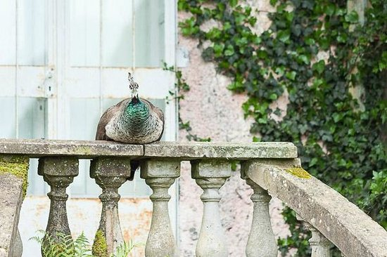 Altamont Gardens - peacock