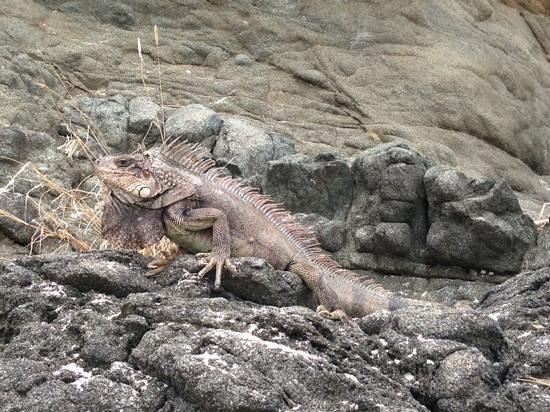 Coki Point Beach : iguana on the rocks