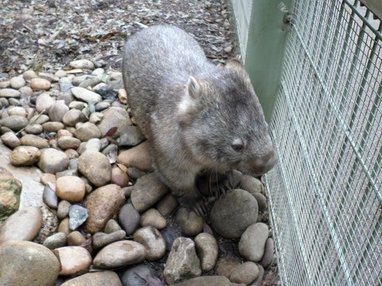 Featherdale Wildlife Park: Wombat at Featherdale