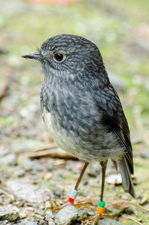 Tiritiri Matangi Island: New Zealand Robin