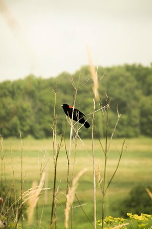 Hawk Valley Retreat & Cottages: Red winged Blackbird on the grounds